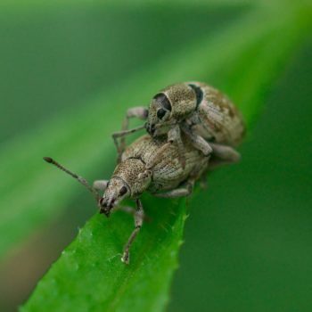 Peritelus sphaeroides (Grauer Knospenrüssler)