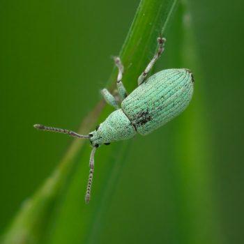 Phyllobius virideaeris (Rüsselkäfer)
