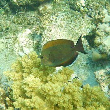 Acanthurus nigrofuscus (Goldtupfen-Doktorfisch)
