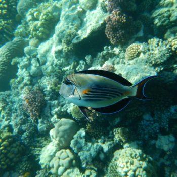Acanthurus sohal (Arabischer Doktorfisch)