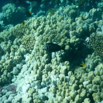 Zebrasoma desjardinii (Indischer Segelflossendoktor)