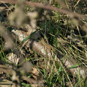 Lacerta agilis (Zauneidechse)