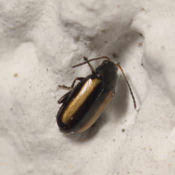 Phyllotreta vittula (Gebänderter Getreideerdfloh)