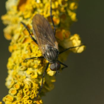 Rhamphomyia sp. (Tanzfliege)