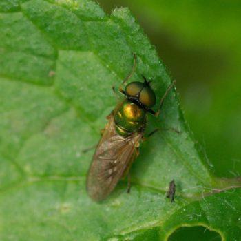 Chloromyia formosa (Goldgrüne Waffenfliege)