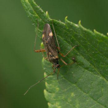 Closterotomus fulvomaculatus (Braune Schmuckwanze)
