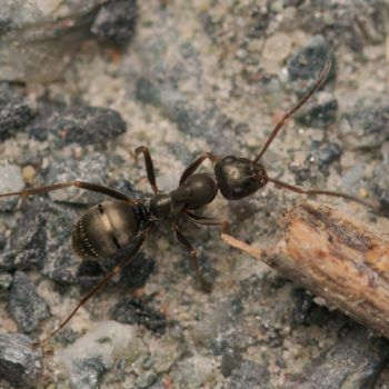 Formica fusca (Grauschwarze Sklavenameise)