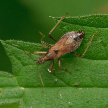 Himacerus mirmicoides (Ameisensichelwanze)