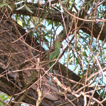 Psittacula krameri (Halsbandsittich)