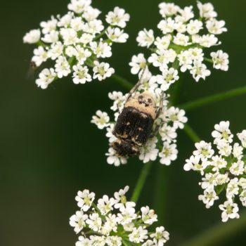Valgus hemipterus (Stolperkäfer)