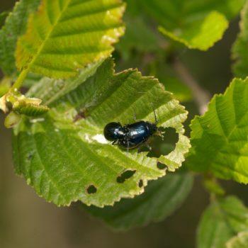 Agelastica alni (Blauer Erlenblattkäfer)
