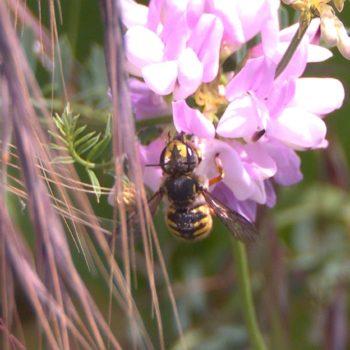 Anthidium manicatum (Große Wollbiene)