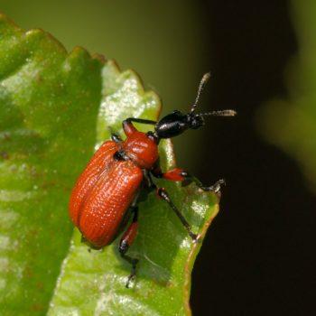 Apoderus coryli (Haselblattroller)
