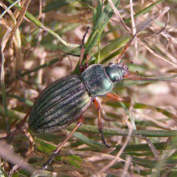Carabus auratus (Goldlaufkäfer)