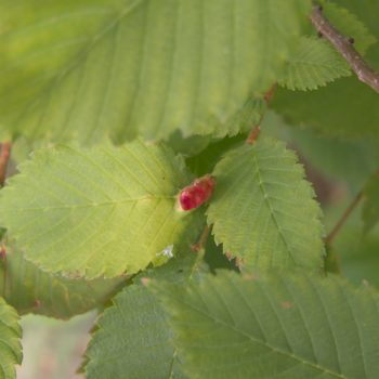 Colopha compressa (Blattlaus)