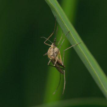 Culex cf. pipiens (Gemeine Stechmücke)