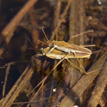 Gerris thoracicus (Gestreckter Wasserläufer)