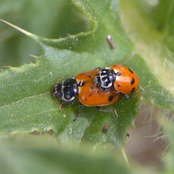 Hippodamia variegata (Variabler Flach-Marienkäfer)