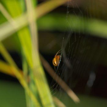 Hypsosinga heri (Uferglanzspinne)