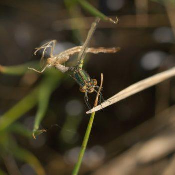 Lestes dryas (Glänzende Binsenjungfer)