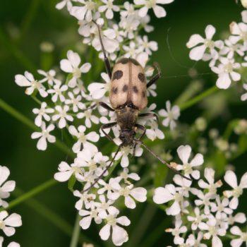 Pachytodes cerambyciformis (Gefleckter Blütenbock)