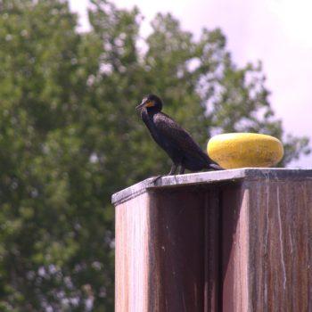 Phalacrocorax carbo (Kormoran)