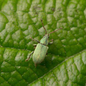 Phyllobius cf. roboretanus (Grünrüssler)