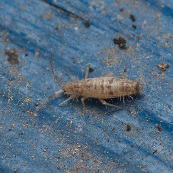 Entomobryomorpha