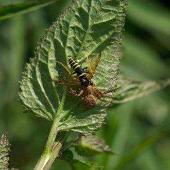 Tenthredo scrophulariae (Braunwurzblattwespe)