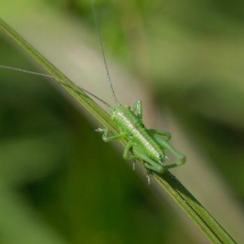 Tettigonia sp. (Heupferd)