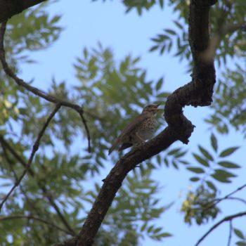 Turdus philomelos (Singdrossel)