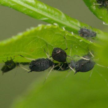 Aphis fabae (Schwarze Bohnenlaus)
