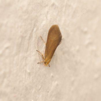 Crassa tinctella (Faulholzmotte)