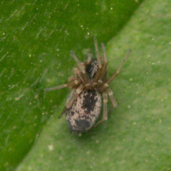 Dictyna uncinata (Gewöhnliche Heckenkräuselspinne)