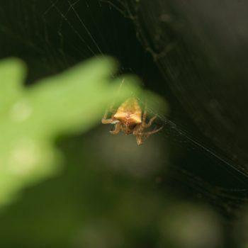 Gibbaranea bituberculata (Zweibuckelkreuzspinne)