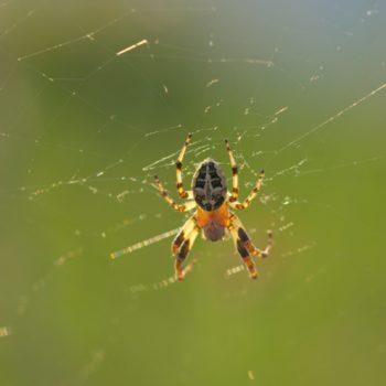 Larinioides cornutus (Gewöhnliche Schilfradspinne)