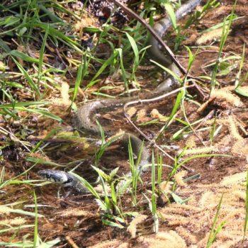 Natrix helvetica (Barren-Ringelnatter)