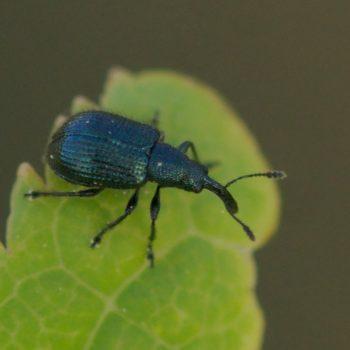 Neocoenorhinidius pauxillus (Blattrippenstecher)