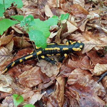 Salamandra salamandra (Feuersalamander)