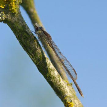Sympecma fusca (Gemeine Winterlibelle)