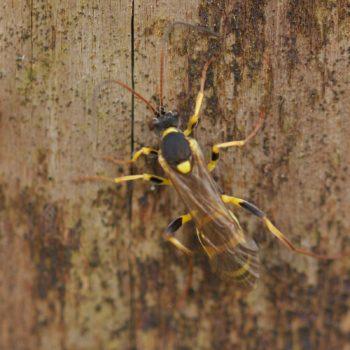 Amblyteles armatorius (Gelbe Schlupfwespe)