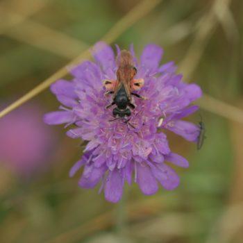 Andrena hattorfiana (Knautien-Sandbiene)