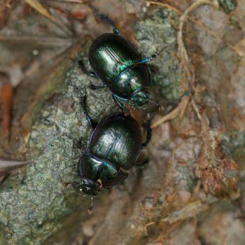 Anoplotrupes stercorosus (Waldmistkäfer)
