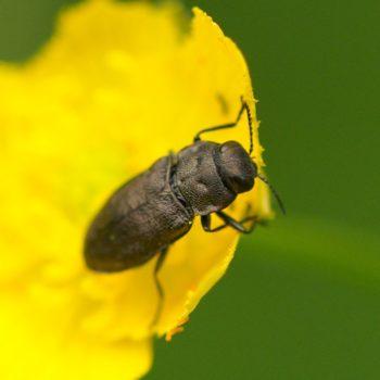 Anthaxia quadripunctata (Vierpunktiger Kiefernprachtkäfer)