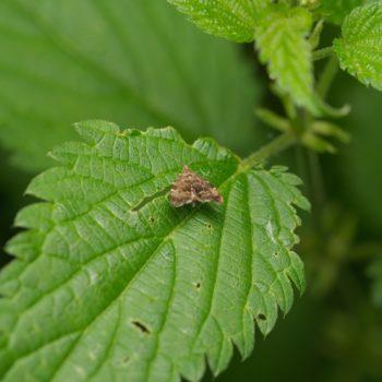 Anthophila fabriciana (Brennnessel-Spreizflügelfalter)
