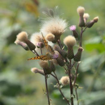 Argynnis paphia (Kaisermantel)