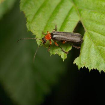 Cantharis pellucida (Rotschwarzer Weichkäfer)