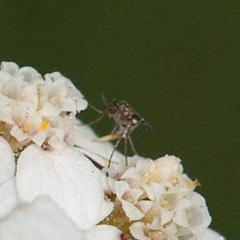 Cecidomyiidae sp. (Gallmücke)
