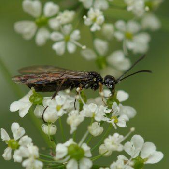 Cephus sp. (Halmwespe)