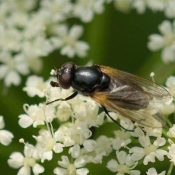 Cheilosia impressa (Gelbflügel-Erzschwebfliege)